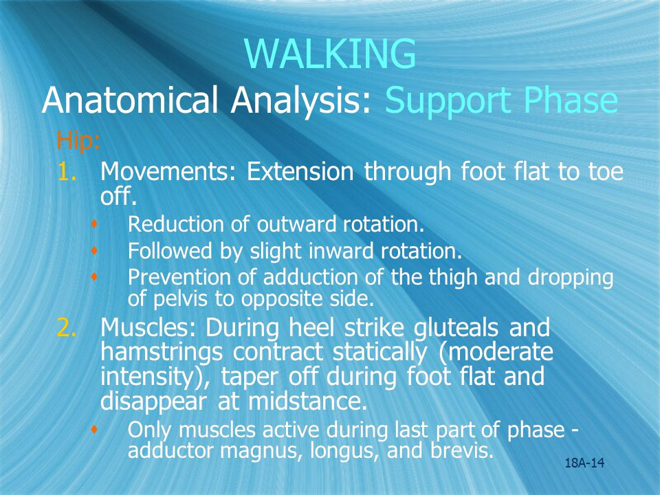 18A-15 WALKING Anatomical Analysis:Support Phase Knee: 1.Movements: Slight flexion from heel strike to foot flat, extension from midstance until heel lift.
