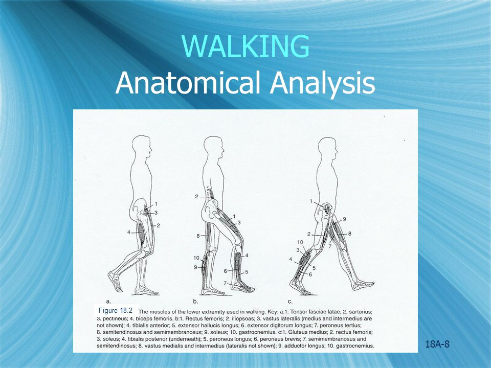 18A-9 WALKING Anatomical Analysis:Swing Phase Spine and Pelvis: 1.Movements: Rotation of pelvis toward the support leg and of spine in the opposite direction; slight lateral tilt of pelvis toward swing leg.