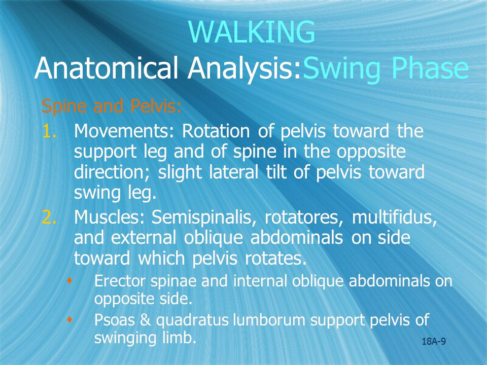 18A-9 WALKING Anatomical Analysis:Swing Phase Spine and Pelvis: 1.Movements: Rotation of pelvis toward the support leg and of spine in the opposite di