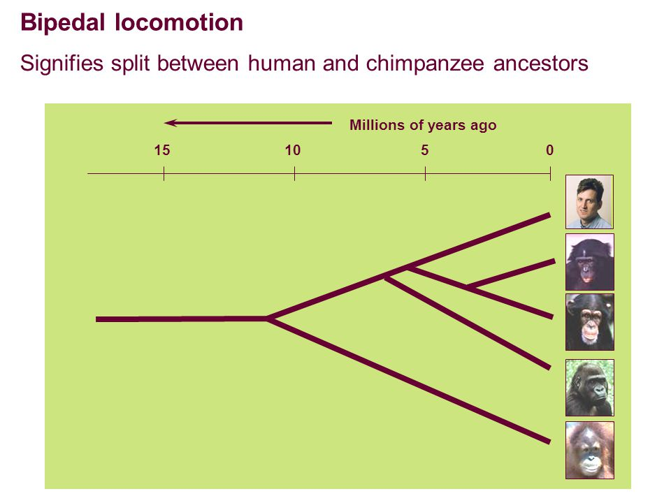 Bipedal locomotion Signifies split between human and chimpanzee ancestors Millions of years ago 051015