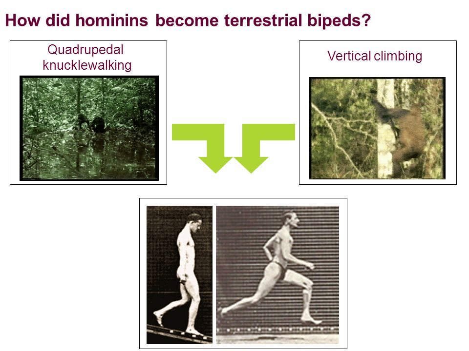 How did hominins become terrestrial bipeds Quadrupedal knucklewalking Vertical climbing