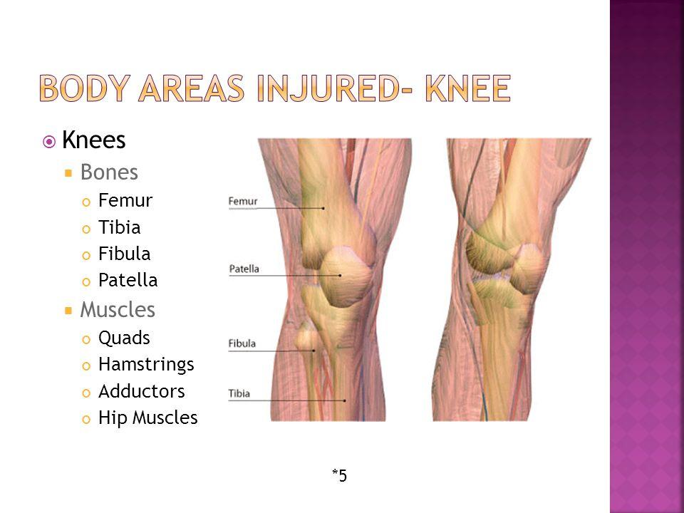 Knees  Bones Femur Tibia Fibula Patella  Muscles Quads Hamstrings Adductors Hip Muscles *5