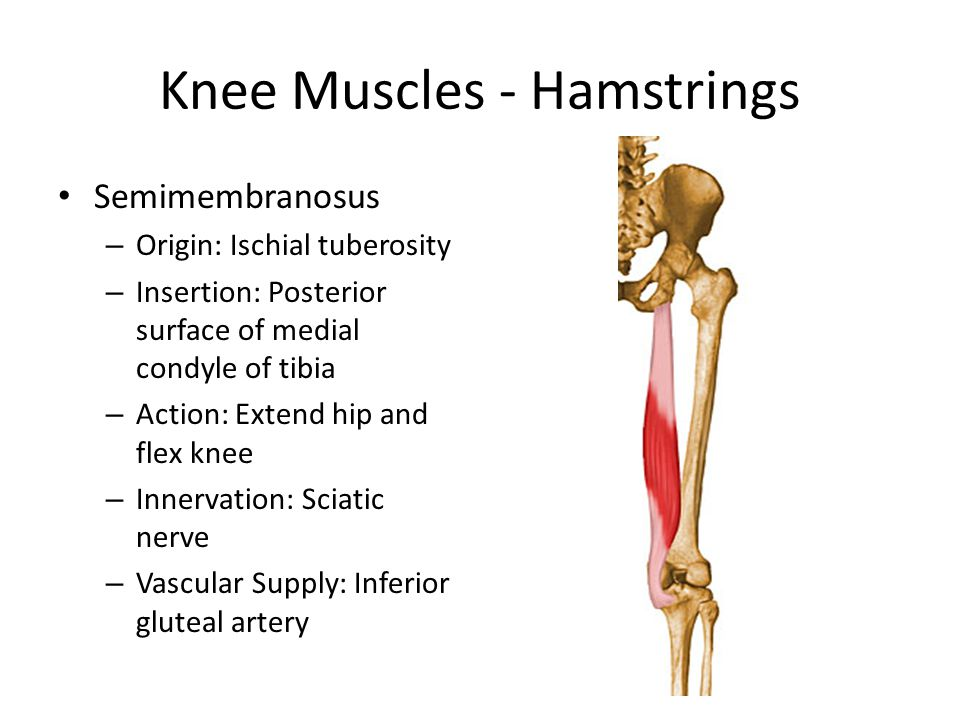 Knee Muscles - Hamstrings Semimembranosus – Origin: Ischial tuberosity – Insertion: Posterior surface of medial condyle of tibia – Action: Extend hip