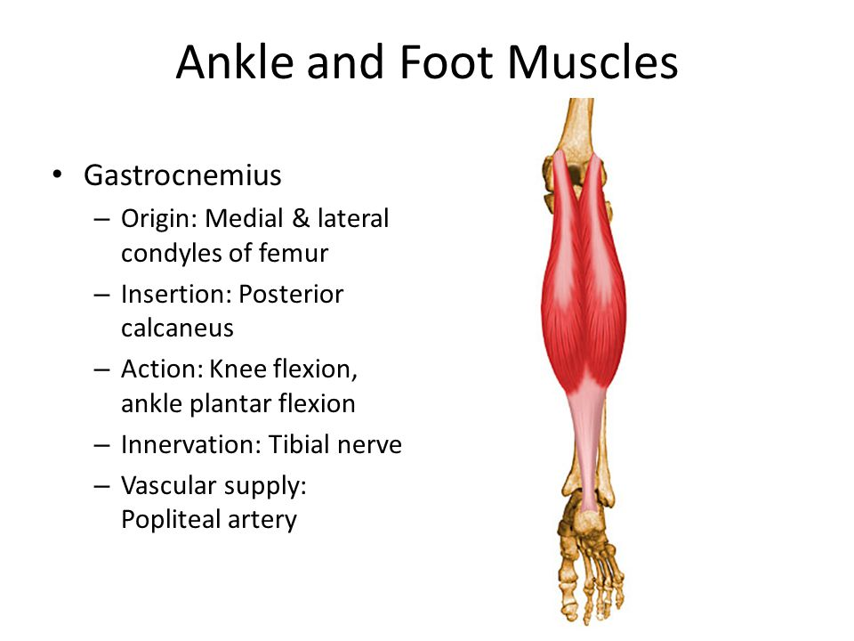 Ankle and Foot Muscles Gastrocnemius – Origin: Medial & lateral condyles of femur – Insertion: Posterior calcaneus – Action: Knee flexion, ankle plantar flexion – Innervation: Tibial nerve – Vascular supply: Popliteal artery