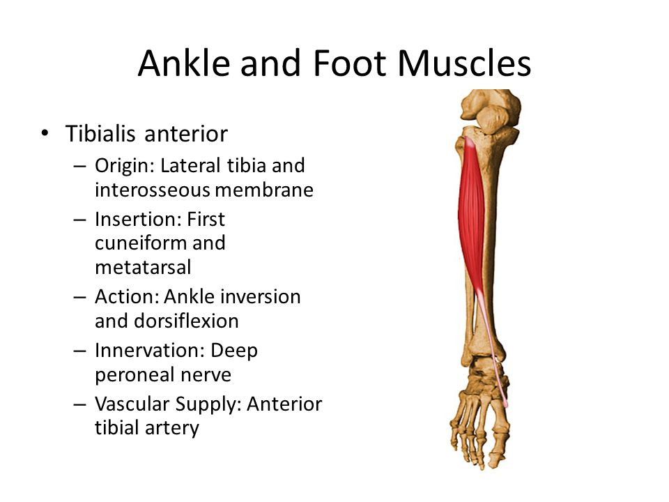 Ankle and Foot Muscles Tibialis anterior – Origin: Lateral tibia and interosseous membrane – Insertion: First cuneiform and metatarsal – Action: Ankle inversion and dorsiflexion – Innervation: Deep peroneal nerve – Vascular Supply: Anterior tibial artery