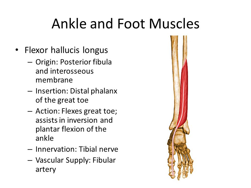 Ankle and Foot Muscles Flexor hallucis longus – Origin: Posterior fibula and interosseous membrane – Insertion: Distal phalanx of the great toe – Action: Flexes great toe; assists in inversion and plantar flexion of the ankle – Innervation: Tibial nerve – Vascular Supply: Fibular artery
