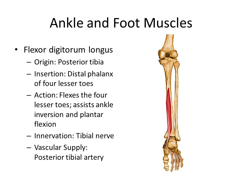 Ankle and Foot Muscles Flexor digitorum longus – Origin: Posterior tibia – Insertion: Distal phalanx of four lesser toes – Action: Flexes the four les