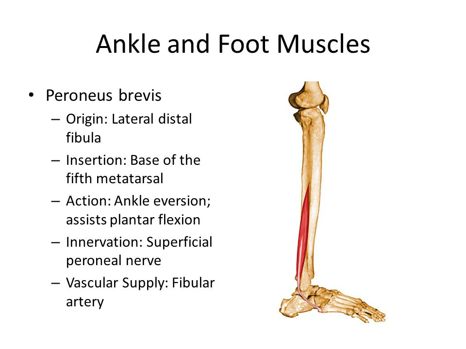 Ankle and Foot Muscles Peroneus brevis – Origin: Lateral distal fibula – Insertion: Base of the fifth metatarsal – Action: Ankle eversion; assists plantar flexion – Innervation: Superficial peroneal nerve – Vascular Supply: Fibular artery