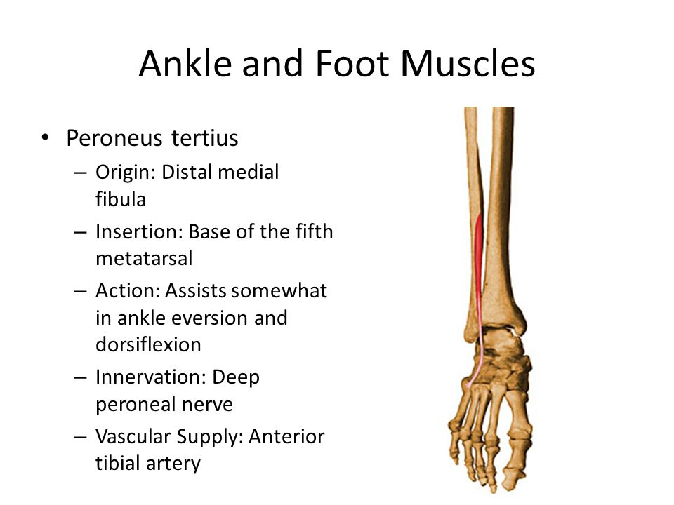 Ankle and Foot Muscles Peroneus tertius – Origin: Distal medial fibula – Insertion: Base of the fifth metatarsal – Action: Assists somewhat in ankle e