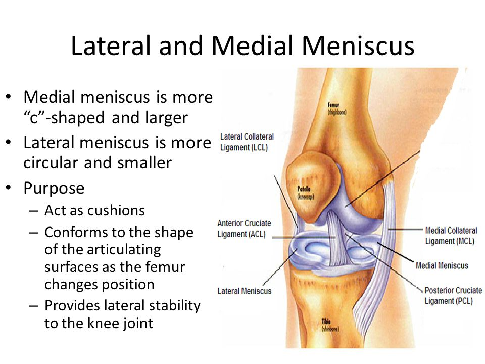 "Lateral and Medial Meniscus Medial meniscus is more ""c""-shaped and larger Lateral meniscus is more circular and smaller Purpose – Act as cushions – Co"