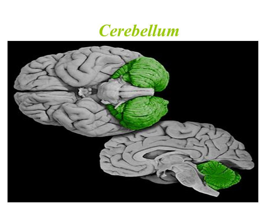 Site: Posterior cranial fossa, behind pons & medulla oblongata.