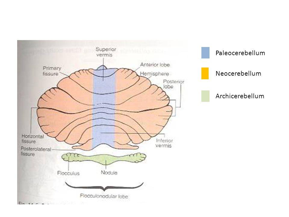 Neocerebellum Archicerebellum Paleocerebellum