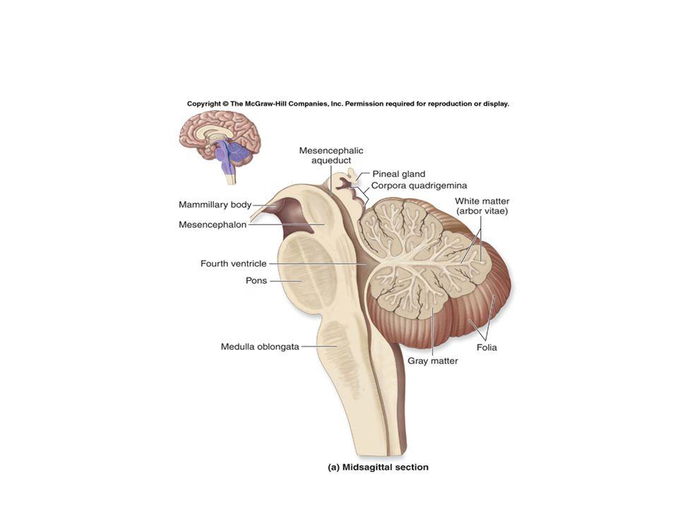 Cerebellum * 3 Lobes: Anterior Middle floccculonodular 3 Fissures: * Primary * Horizontal * Posterolateral