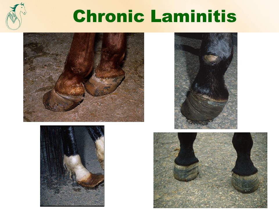 Chronic Laminitis