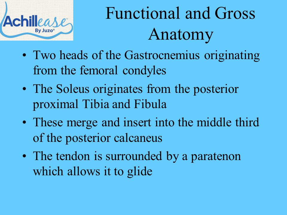 Functional and Gross Anatomy Two heads of the Gastrocnemius originating from the femoral condyles The Soleus originates from the posterior proximal Tibia and Fibula These merge and insert into the middle third of the posterior calcaneus The tendon is surrounded by a paratenon which allows it to glide