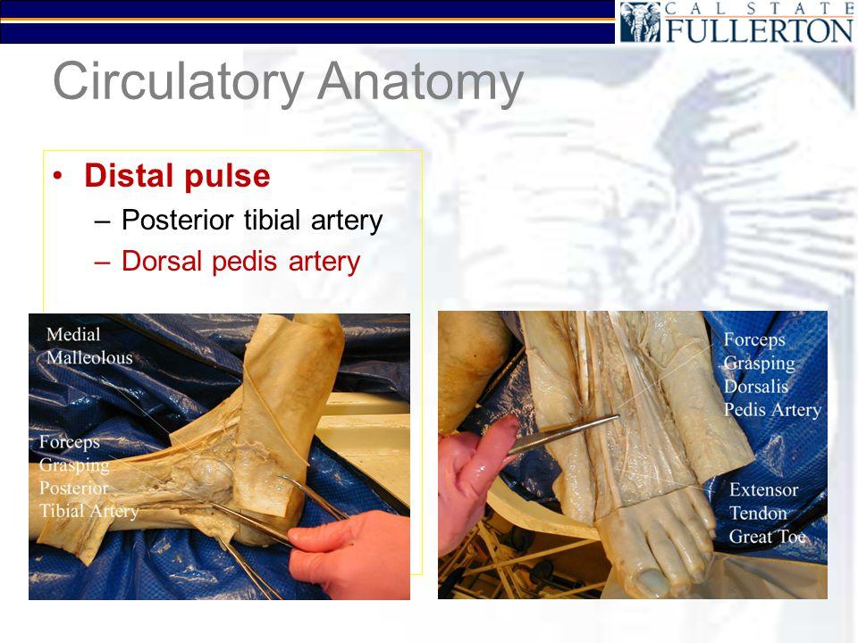 Circulatory Anatomy Distal pulse –Posterior tibial artery –Dorsal pedis artery