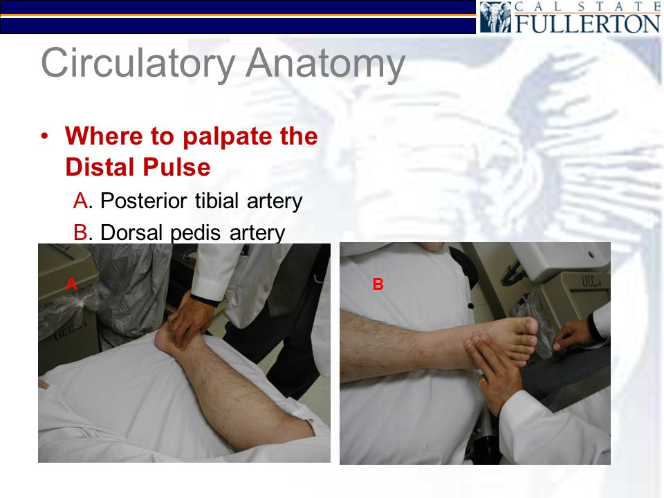 Circulatory Anatomy Where to palpate the Distal Pulse A. Posterior tibial artery B. Dorsal pedis artery AB