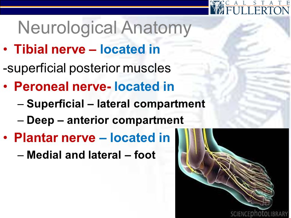 Neurological Anatomy Tibial nerve – located in -superficial posterior muscles Peroneal nerve- located in –Superficial – lateral compartment –Deep – an