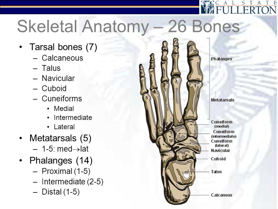 Skeletal Anatomy – 26 Bones Tarsal bones (7) –Calcaneous –Talus –Navicular –Cuboid –Cuneiforms Medial Intermediate Lateral Metatarsals (5) –1-5: med  lat Phalanges (14) –Proximal (1-5) –Intermediate (2-5) –Distal (1-5)