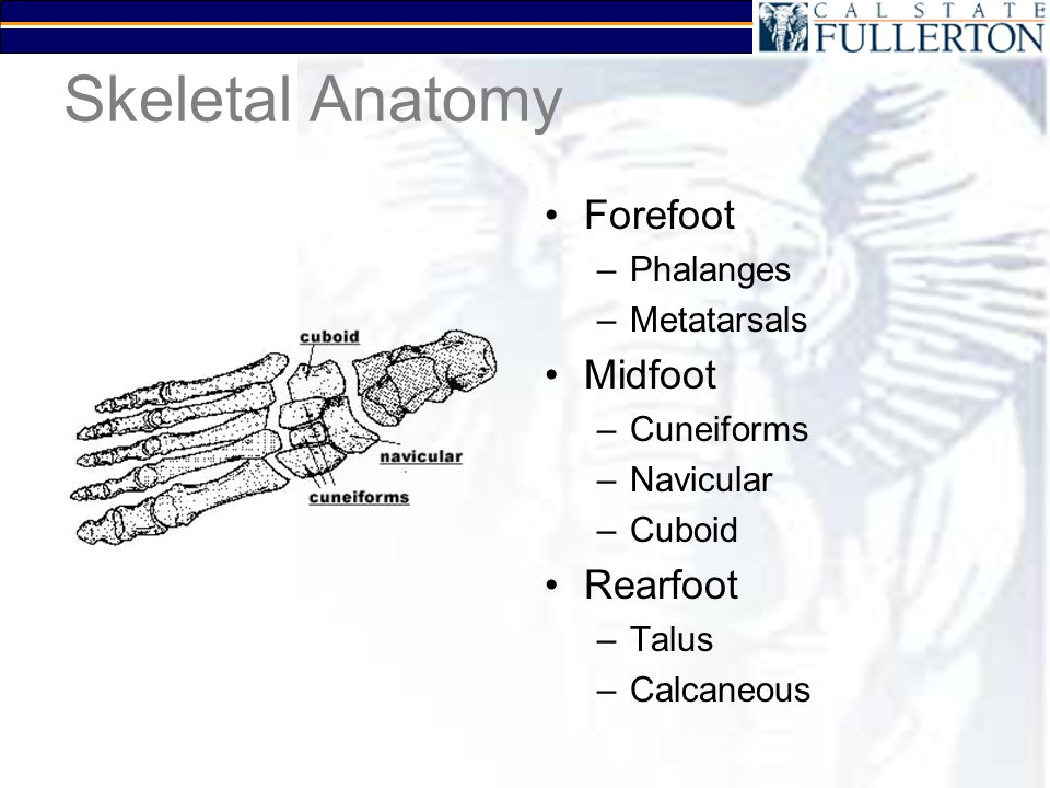 Structural Conditions Hammer Toes –Buckling of an IP joint –Commonly due to muscle imbalance –Leads to calluses and bunions Pes Planus –Flat feet –Excessive pronation –Shin splints / knee problems Pes Cavus –High arches –Faster runners –Claw feet –Excessive supination