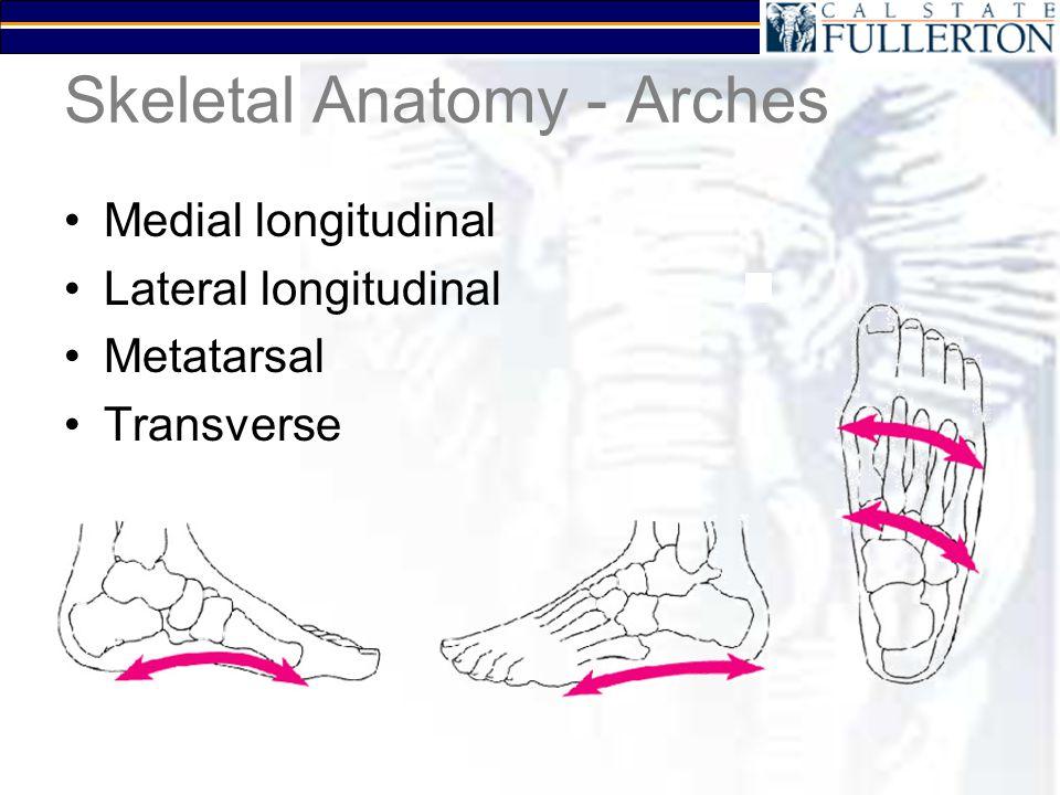Skeletal Anatomy - Arches Medial longitudinal Lateral longitudinal Metatarsal Transverse