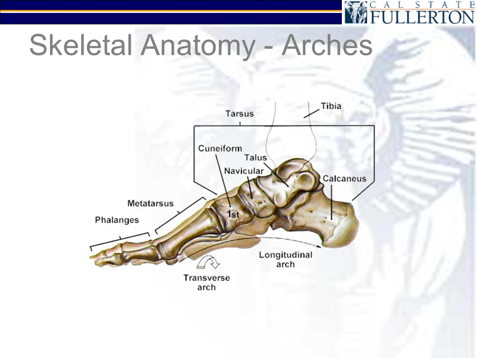 Skeletal Anatomy - Joints Meta-tarso-phalangeal (MP or MTP) Subtalar –Talus –Calcaneus
