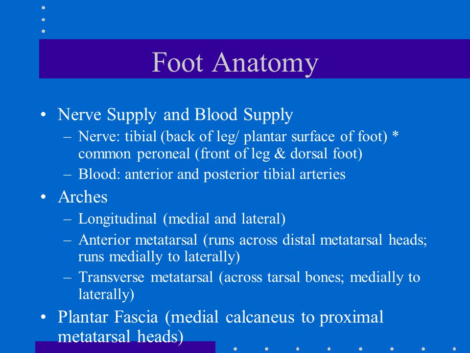 Foot Anatomy Nerve Supply and Blood Supply –Nerve: tibial (back of leg/ plantar surface of foot) * common peroneal (front of leg & dorsal foot) –Blood: anterior and posterior tibial arteries Arches –Longitudinal (medial and lateral) –Anterior metatarsal (runs across distal metatarsal heads; runs medially to laterally) –Transverse metatarsal (across tarsal bones; medially to laterally) Plantar Fascia (medial calcaneus to proximal metatarsal heads)