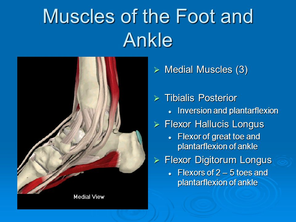 Muscles of the Foot and Ankle  Medial Muscles (3)  Tibialis Posterior Inversion and plantarflexion  Flexor Hallucis Longus Flexor of great toe and