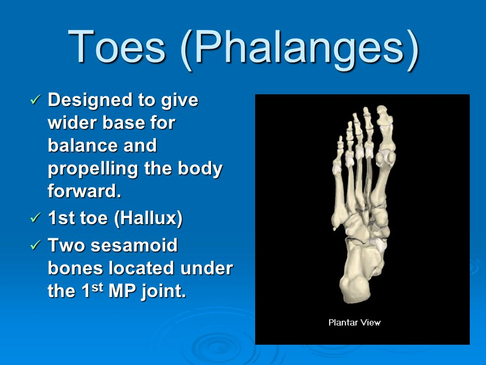 Toes (Phalanges) Designed to give wider base for balance and propelling the body forward. Designed to give wider base for balance and propelling the b