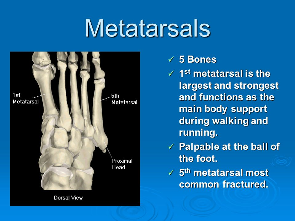 Metatarsals 5 Bones 5 Bones 1 st metatarsal is the largest and strongest and functions as the main body support during walking and running. 1 st metat