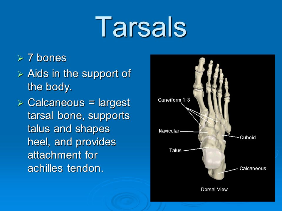 Tarsals  7 bones  Aids in the support of the body.  Calcaneous = largest tarsal bone, supports talus and shapes heel, and provides attachment for a