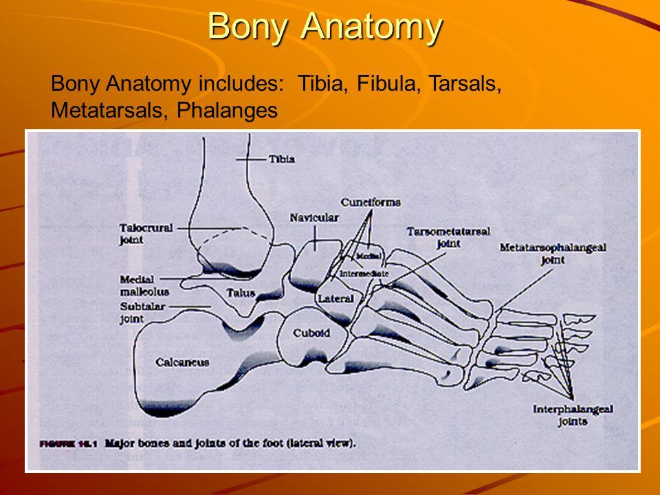 2 Bony Anatomy Bony Anatomy includes: Tibia, Fibula, Tarsals, Metatarsals, Phalanges