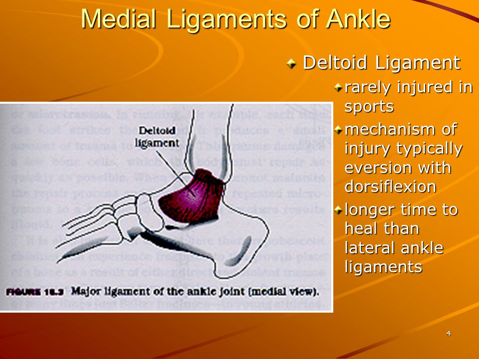 4 Medial Ligaments of Ankle Deltoid Ligament rarely injured in sports mechanism of injury typically eversion with dorsiflexion longer time to heal than lateral ankle ligaments