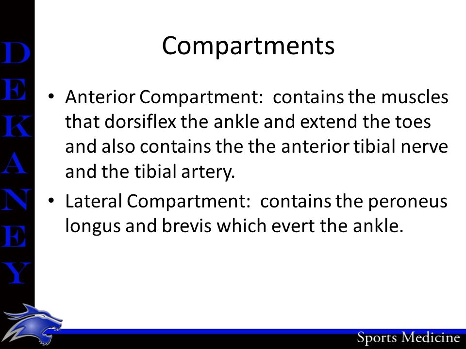 Compartments Anterior Compartment: contains the muscles that dorsiflex the ankle and extend the toes and also contains the the anterior tibial nerve a