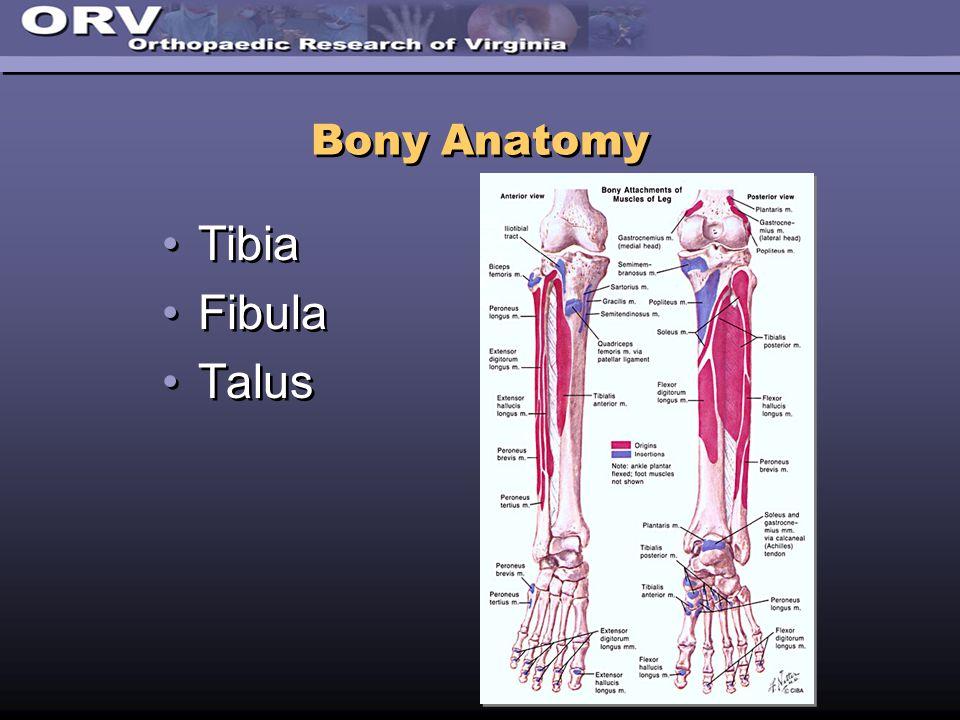 Bony Anatomy Tibia Fibula Talus Tibia Fibula Talus