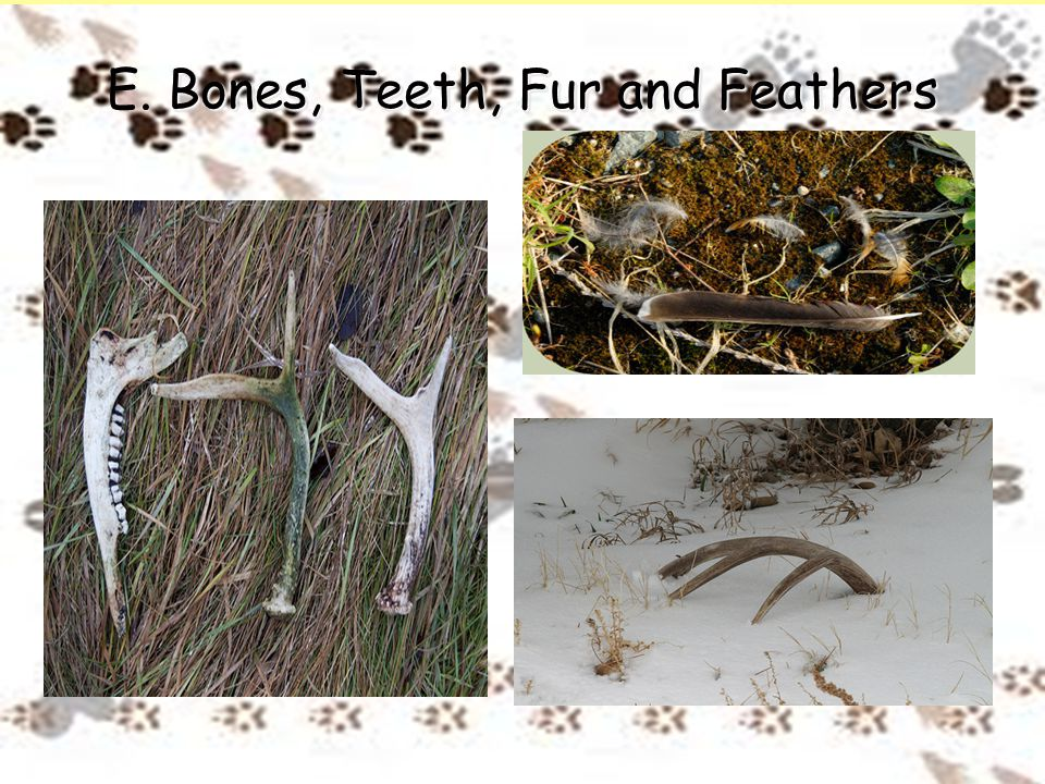 Bones, Teeth, Fur and Feathers E. Bones, Teeth, Fur and Feathers