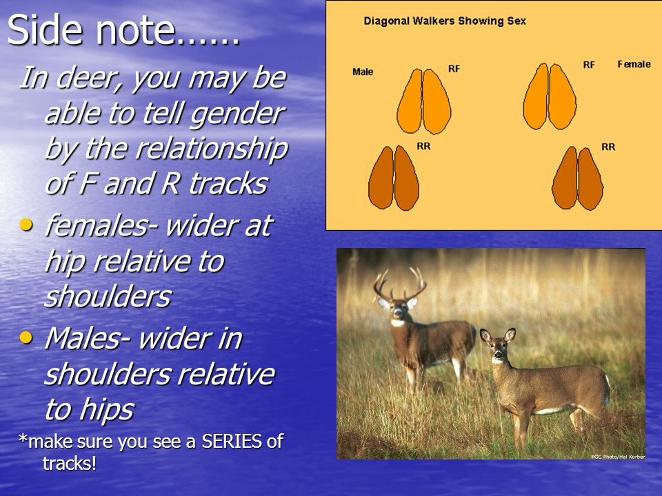 Side note…… In deer, you may be able to tell gender by the relationship of F and R tracks females- wider at hip relative to shoulders females- wider at hip relative to shoulders Males- wider in shoulders relative to hips Males- wider in shoulders relative to hips *make sure you see a SERIES of tracks!