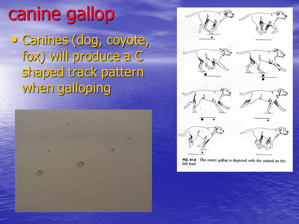 canine gallop Canines (dog, coyote, fox) will produce a C shaped track pattern when galloping Canines (dog, coyote, fox) will produce a C shaped track pattern when galloping