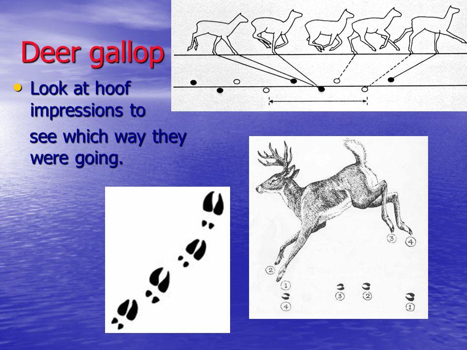 Deer gallop Look at hoof impressions to Look at hoof impressions to see which way they were going. see which way they were going.