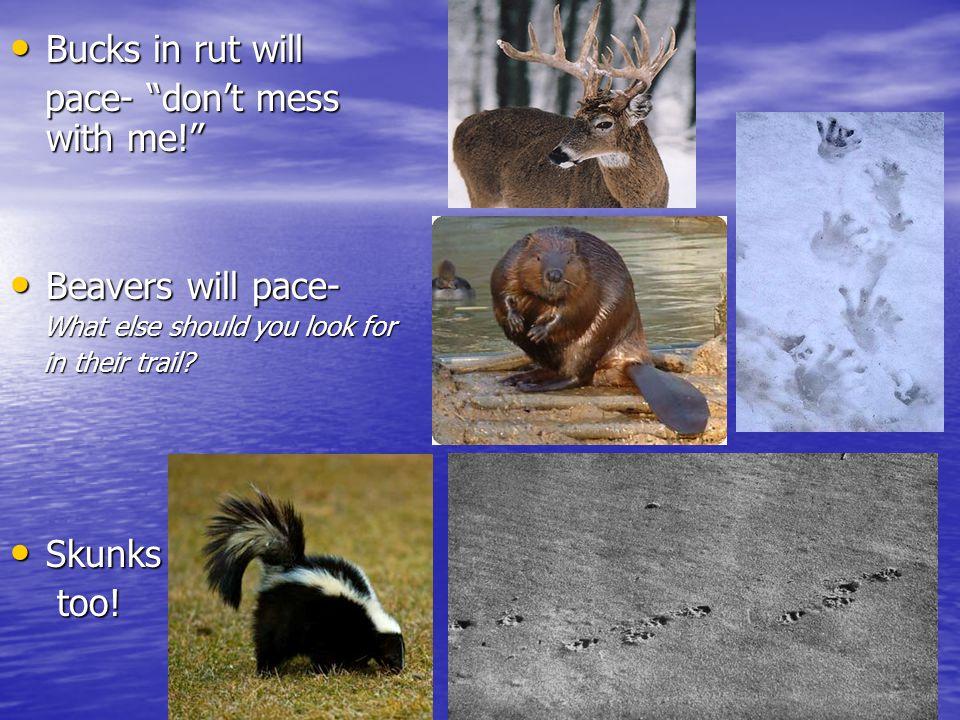"""Bucks in rut will Bucks in rut will pace- """"don't mess with me!"""" pace- """"don't mess with me!"""" Beavers will pace- Beavers will pace- What else should you"""