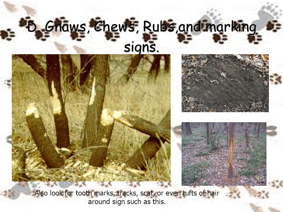 Gnaws, Chews, Rubs,and marking signs. D. Gnaws, Chews, Rubs,and marking signs. Also look for tooth marks, tracks, scat, or even tufts of hair around s