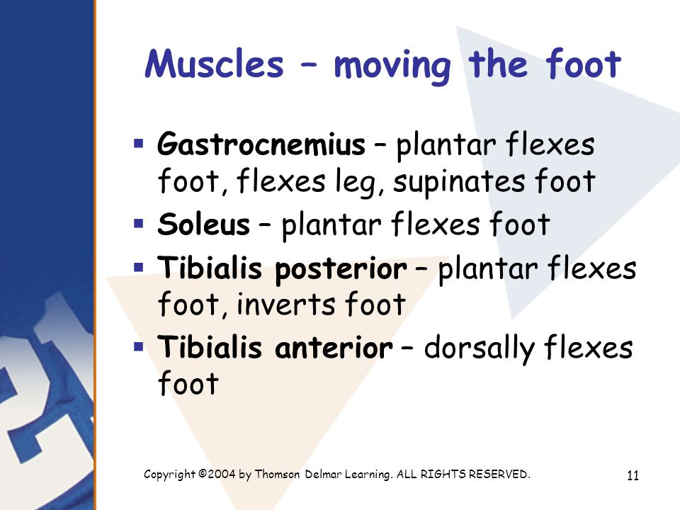 Copyright ©2004 by Thomson Delmar Learning. ALL RIGHTS RESERVED. 11 Muscles – moving the foot  Gastrocnemius – plantar flexes foot, flexes leg, supin
