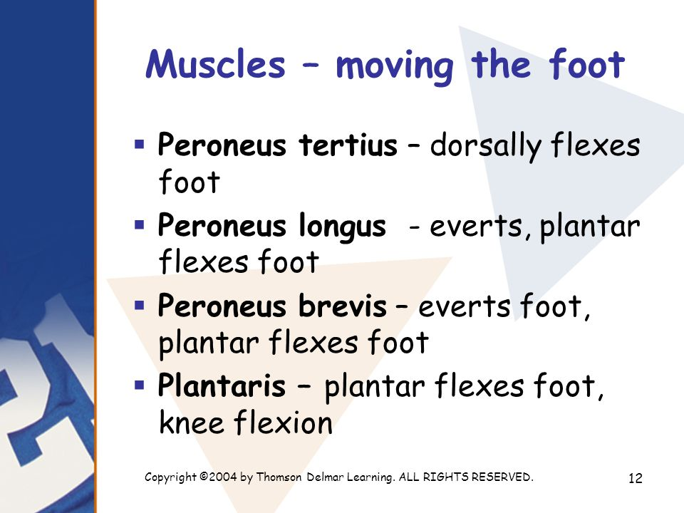 Copyright ©2004 by Thomson Delmar Learning. ALL RIGHTS RESERVED. 12 Muscles – moving the foot  Peroneus tertius – dorsally flexes foot  Peroneus lon