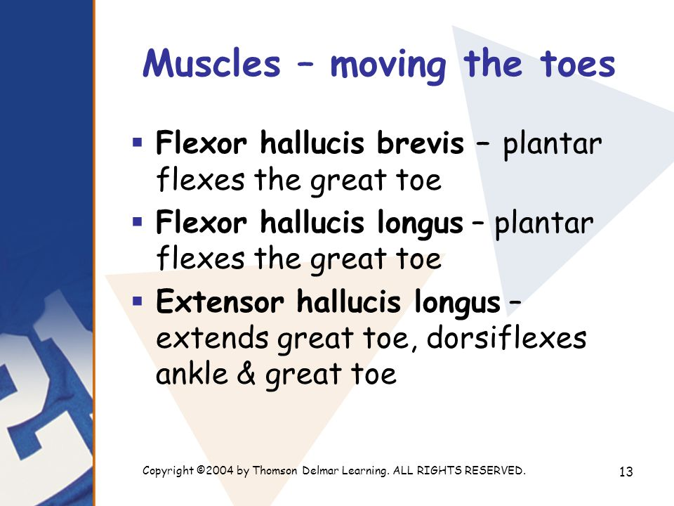Copyright ©2004 by Thomson Delmar Learning. ALL RIGHTS RESERVED. 13 Muscles – moving the toes  Flexor hallucis brevis – plantar flexes the great toe