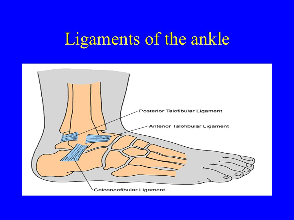 There are three ligaments that are part of the ankle.
