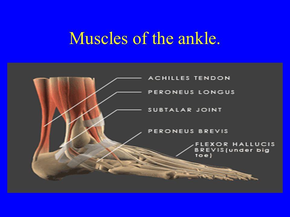 Muscles of the ankle. Peroneus Longus Peroneus Brevis Anterior Tibialis Posterior Tibialis Extensors Hallucis Longus Flexor Hallucis Longus Extensor D
