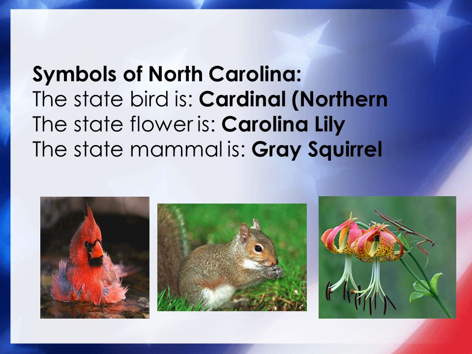 Symbols of North Carolina: The state bird is: Cardinal (Northern The state flower is: Carolina Lily The state mammal is: Gray Squirrel