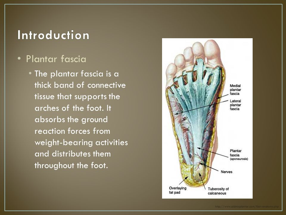 Plantar fascia The plantar fascia is a thick band of connective tissue that supports the arches of the foot.