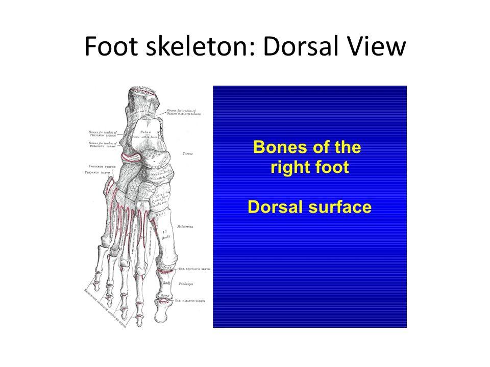 Foot skeleton: Dorsal View
