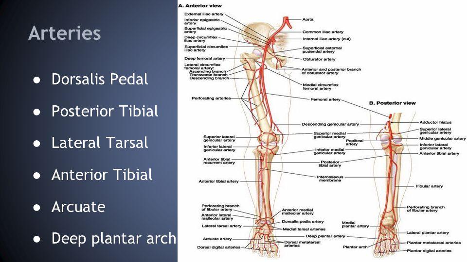 Arteries ● Dorsalis Pedal ● Posterior Tibial ● Lateral Tarsal ● Anterior Tibial ● Arcuate ● Deep plantar arch